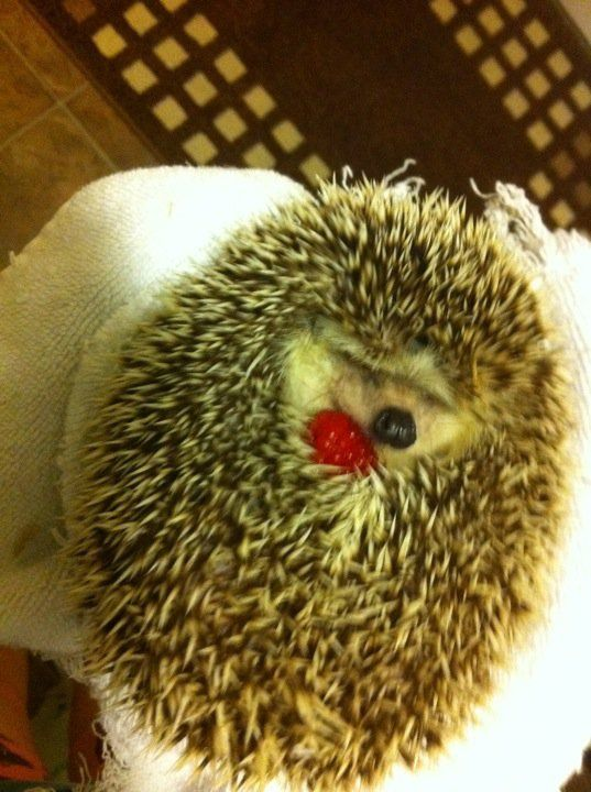 Just a hedgehog with a raspberry