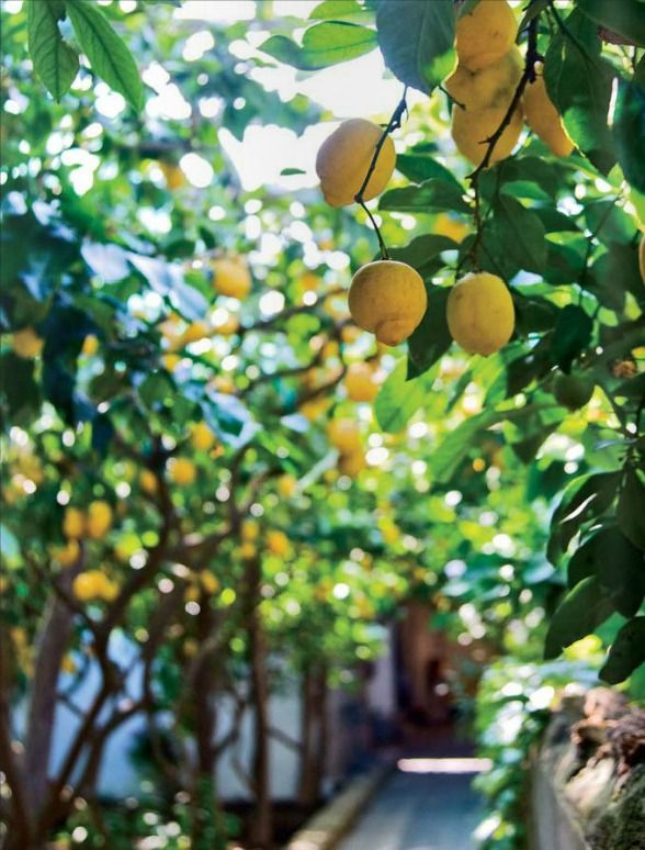 there are lemons hanging around everywhere you look. (capri) #travelcolorfully