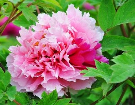 peony complex color quot xian e quot peony perfection pinterest