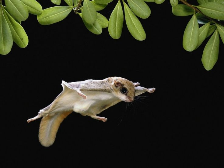 Northern flying squirrel a tiny but amazing creature