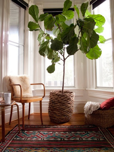 fiddle leaf fig tree indoors - it might be cliche but they are stunning