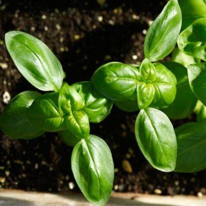 foglie di pianta di basilico, belle verdi e sode