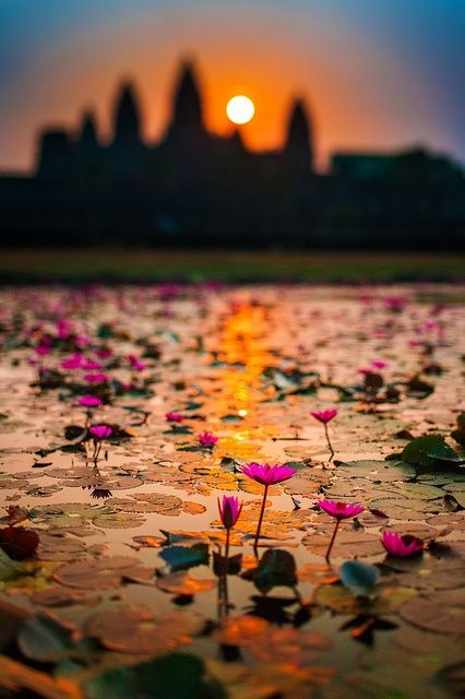 Sunrise in lotus flowers bloom / Angkor Wat, Siem Reap, Cambodia