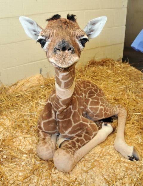 baby giraffe.  SO adorable
