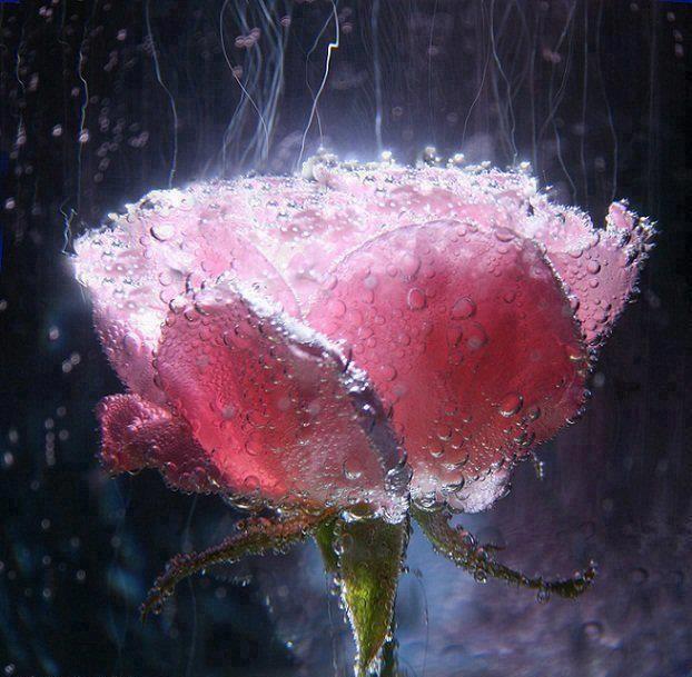en pétalos de rosa rosada