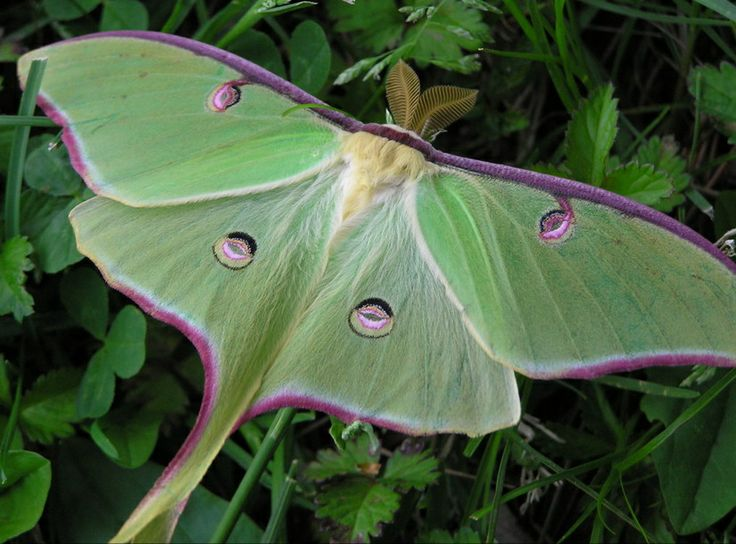 luna moth god s unique creatures pinterest