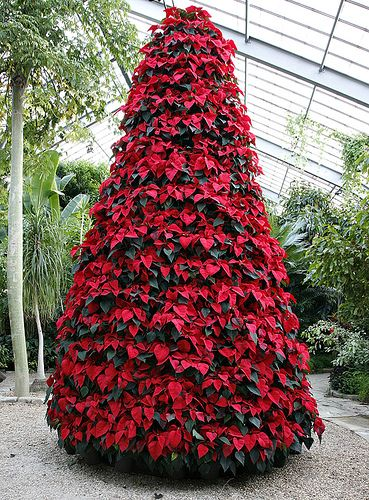 Poinsettia tree - WOW!