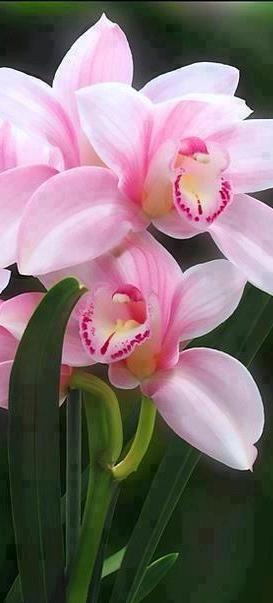 Cymbidium orchids