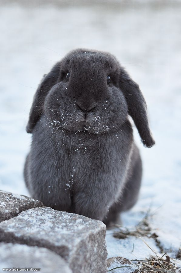 cutest grey bunny~ by Ida Lundahl