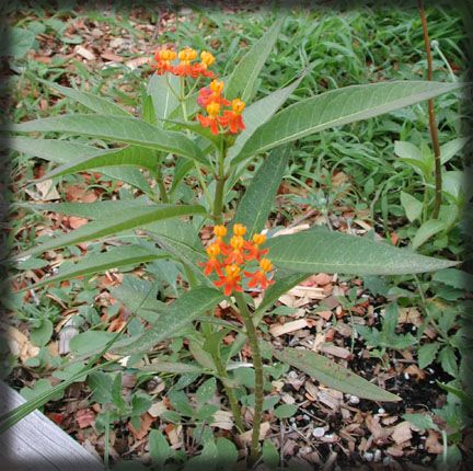 butterfly-weed-milkweed-asclepias-curassavica