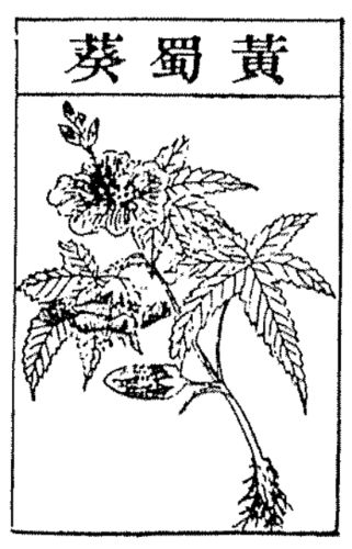 Huang Shukui, Abelmosehus Manihot, Mask Mallow. After: Bencao gangmu, vol. 1, p. 102 bottom left