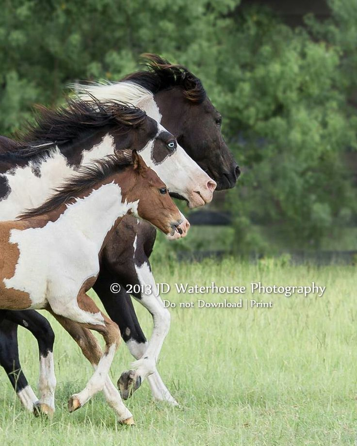 tri color horses photography and art pinterest