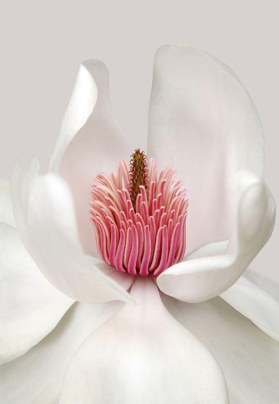 Magnolia compeliii