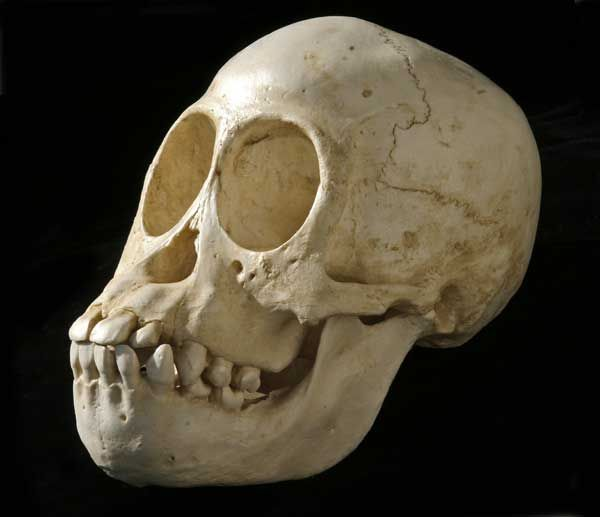 juvenile orang skull