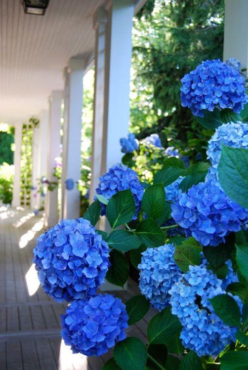 per promuovere lo sviluppo di pigmenti blu è necessario introdurre ferro o alluminio a livello delle radici della pianta