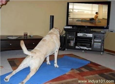 A dog doing yoga, pin it if you like it!