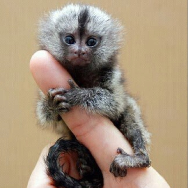 Finger monkey :)