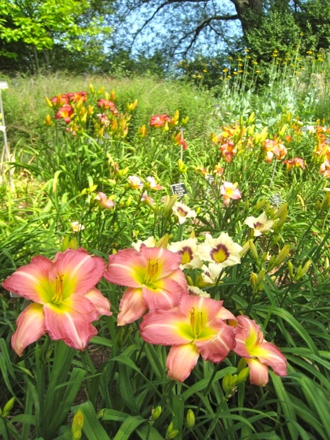Boerner Botanical Garden daylilies, Milwaukee, WI