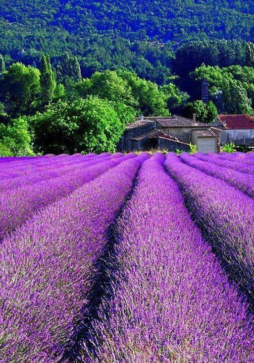 Lavender, south of france