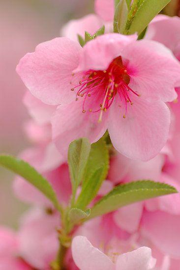 ~~Blossom   dwarf Nectarine tree by Lorraine Deroon~~