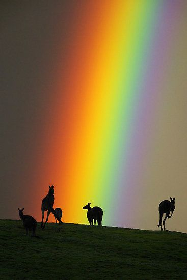 ~~Kangaroos and Rainbow at Kangaroo Ground, Yarra Valley ~ Victoria, Australia by Ern Mainka~~