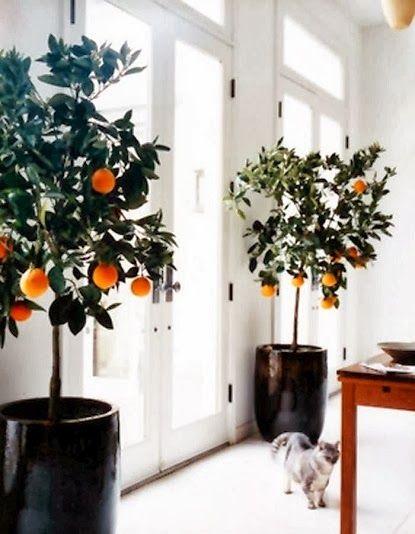 Alternative Gardning: Stunning orange trees
