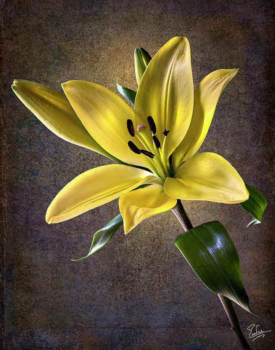 yellow tiger lily color flowers with color backgrounds pinterest