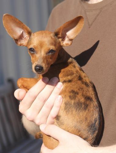chiweenie girl huge ears and unusual dapple coloring call je