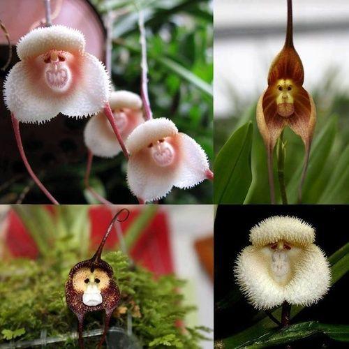 Monkey Orchids. Really look like monkeys.
