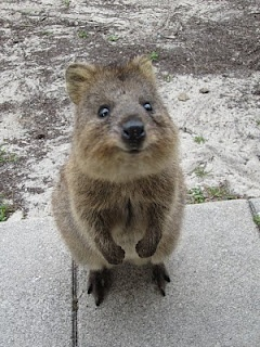Quokka. Imagine a fuzzy adorable friendly playful miniature kangaroo--I MUST HAVE ONE OF THESE!!!!!