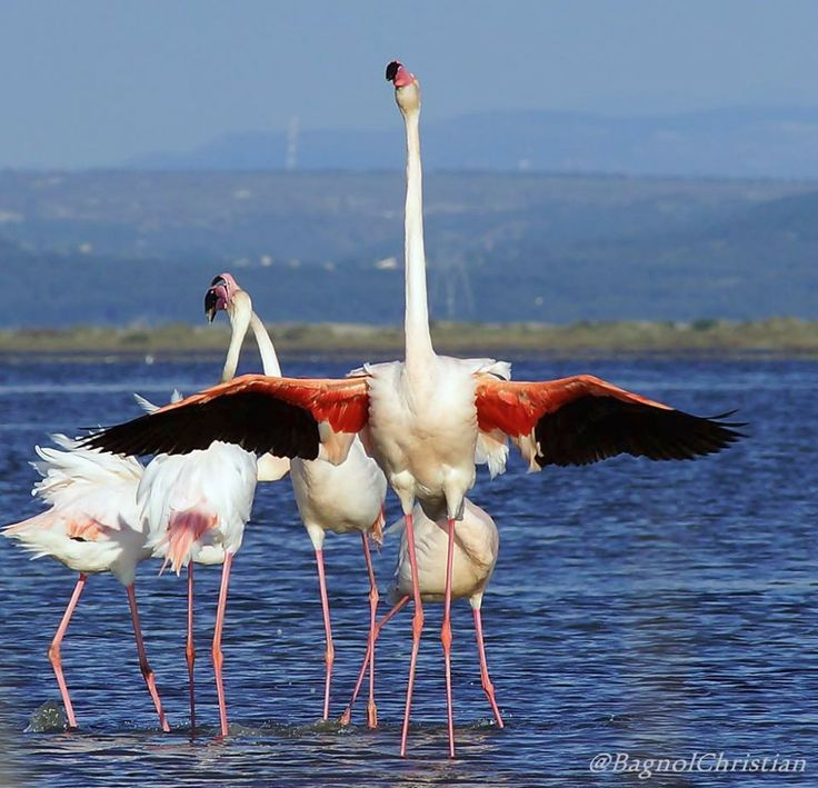 *** Giant *** Flamingos Wild