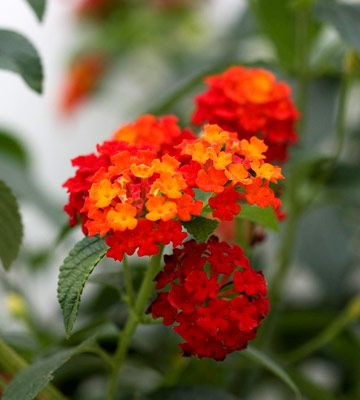 Lantana hot gorgeous orange!
