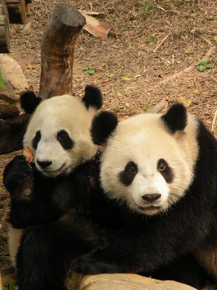 pair of pandas zoo and safari wild pinterest