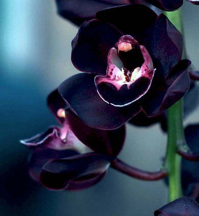 Cymbidium Kiwi Midnight.