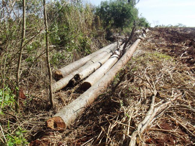 10/9/14 - Venâncio Aires, RS, flagra de corte de árvores nativas