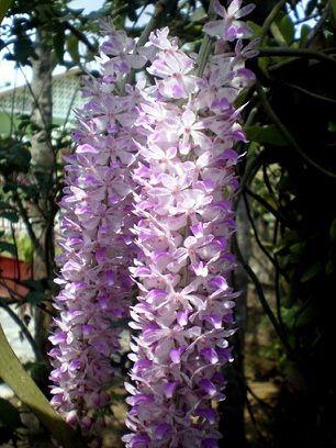 foxtail orchid assam