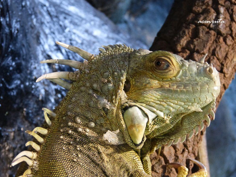 Cabárceno. Iguana