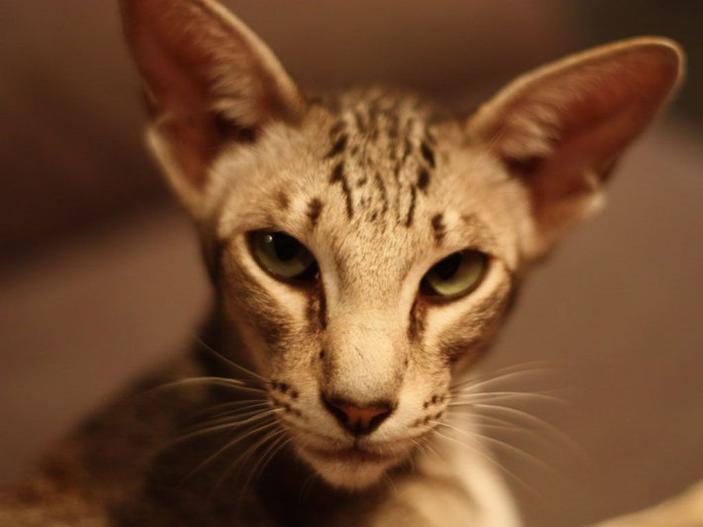 Oriental Cats Pinterest