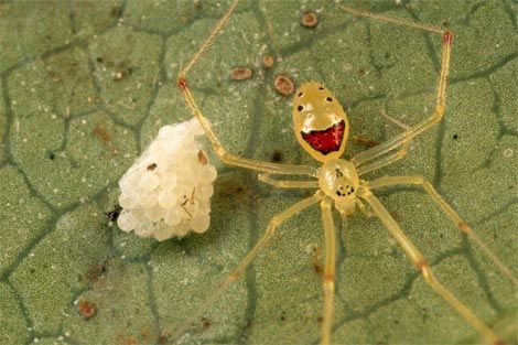 "The terrifying ""happy face spider."""