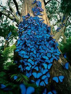 Blue butterflies...in Panama!