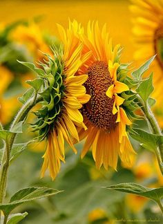 sunflowers~don't I know u?