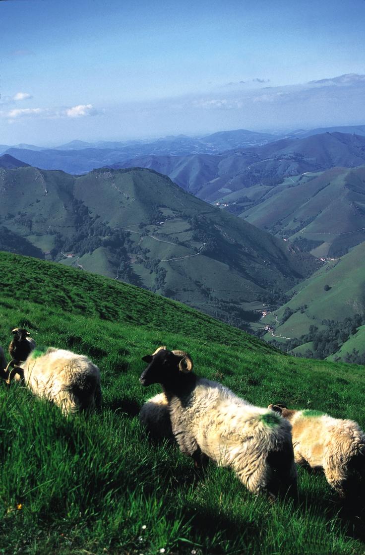 Brebis en Montagne