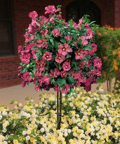 Empress Rose Of Sharon Tree