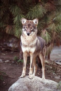 Coywolf | Eastern Coyotes/Coywolves staring at camera.