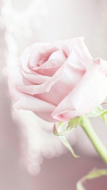 Beautiful Pale Rose