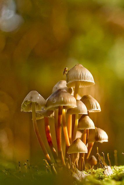 Jeffrey Woodall • Clustered Bonnet Mushrooms