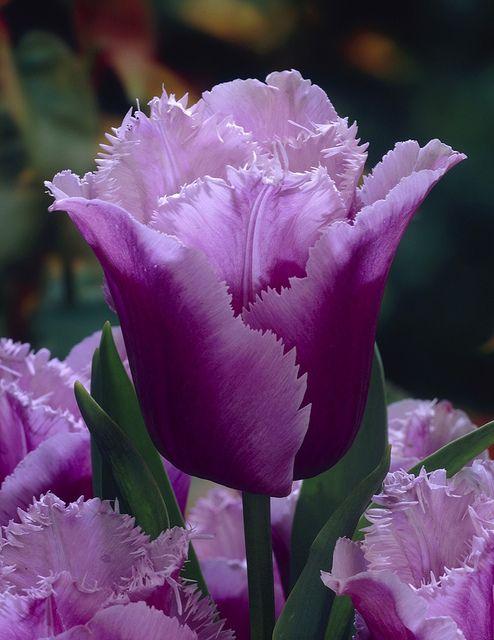 Blue Heron Tulip My favorite tulip
