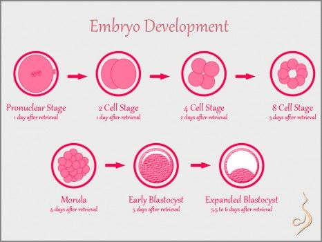A really cool illustration of Embryo Development   #fertility  #ivf   #infertility