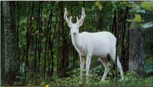 The Sacred white deer, known to the ancient Celts as a White Hart. Guardian of the Otherworld. Also the name of many British Pubs