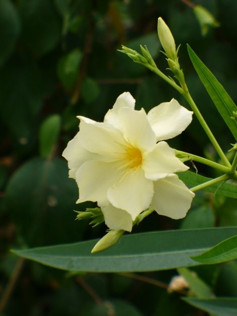 Double Yellow Oleander, 'Mathilde Ferrier', copyright © almostedenplants.com
